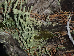 DSCF3137 Lichen, Trysil, Norway (boaski) Tags: summer mountain nature norway norge norwegen norvegia osen noorwegen trysil hedmark norwege sterdalen norwegia sreosen