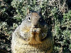Mama's Gotta Eat! (TheJudge310) Tags: squirrel california nikoncoolpixp500 macro eat food mom pregnant 2012 agra usa