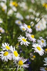 Marjetke (gregork.) Tags: macro spring daisy april makro solkan 2013 pomlad rože marjetke