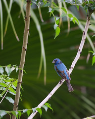 4-13-13 Indigo Bunting-Mead (janeswalden) Tags: male bird nature gardens indigo mead bunting