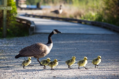 First Goslings of the Year (Mark Klotz) Tags: spring babies bc britishcolumbia wildlife goslings burnaby canadagoose brantacanadensis canadageese feathery babyanimals babygeese burnabylake markklotz canadianwildlife britishcolumbiawildlife bcwildlife canadagooseandgoslings goslingsatburnabylake