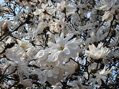 (ela_s) Tags: canon spring kwiaty wiosna kwiecie magnolie biae canons90