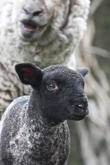 Funny Face (jayneboo) Tags: portrait black cute mom blackwhite spring adorable lamb springtime