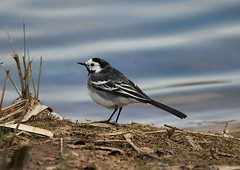 White Wagtail (Bogger3.) Tags: canon whitewagtail sigmalens coth 600d supershot venuspool avianexcellence sunrays5