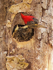 Pic Ouentou / Lineated Woodpecker (mitch099) Tags: costa bird nature beauty rio woodpecker pic rica beaut oiseau osa palmar savegre lineated micheleamyot mitch099 ouentou