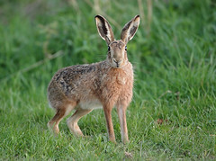 Brown hare  looking just after sunset Lepus europaeus (mikejrae) Tags: brownhare lookingjustaftersunsetlepuseuropaeus