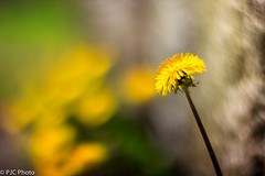 blooming from the ground up! (PJC Photography) Tags: blur canon bokeh sunflower helios helios402 crazybokeh canont3i heliosbokeh