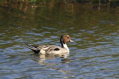 ---20121221--2 (pcbirdtw) Tags: bird      northernpintail