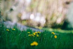 _MG_5535 (Bill Gagne Photography) Tags: color green colors yellow canon bokeh dandelion 135 135mm 135l canonef135mmf2lusm vsco billsphotos canoneos5dmkll vscopresets billgagnephotography