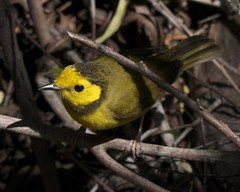 Hooded Warbler (Mikael Behrens) Tags: bird texas wildlife warbler portaransas paradisepond