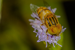 Hoverfly (lxanderthong) Tags: eye yellow fly big pollen hoverfly bigeye