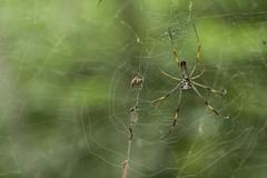 Cerro Blanco (Jose Villacreses) Tags: life naturaleza nature animal america spider ecuador south bugs frogs guayaquil natgeo