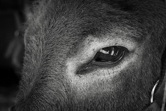 Donkey Eye B&W (anthonyoung) Tags: white black eye donkey grayscale