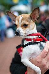 Chihuahua (Knight725) Tags: dog pennslanding d800 adoptionevent sigma35mmf14