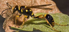 Potter Wasp (vikkikay) Tags: wasp potterwasp macropotterwasp