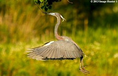 Tri-colored Heron Nest Building (Image Hunter 1) Tags: building tree green grass leaves birds flying leaf wings louisiana branch nest flight feathers breeding twig greenery wingspan nesting tricoloredheron plumage wingspread canoneos7d naturesharmony