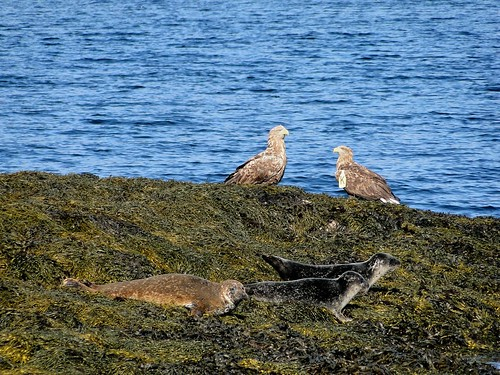 White-tailed Sea-eagles with Seals.