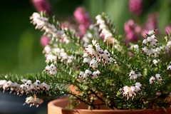 Heathers White Perfection (haberlea) Tags: white plant green nature garden pot mygarden heathers heatherwhiteperfection