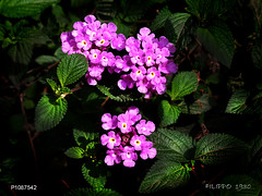 P1087542           SPRING FLOWERS (Felipe 1930) Tags: unique flowershop justnature mmmilikeit spring4u photographicworld