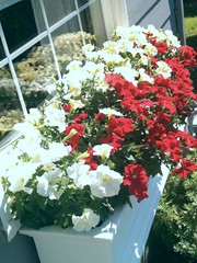 (BronwynHomeschoolMom) Tags: flowers flower box petunias windowbox flowerbox