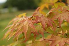 Erable japonais (Sdine) Tags: sony arbre rable feuille sonyalpha