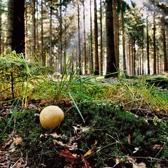 the wood....... (atsjebosma) Tags: wood autumn trees light sun mushroom bomen october thenetherlands paddenstoel bos drenthe zonlicht aardappelbovist 2013 sterremos lieveren atsjebosma zonherfst