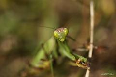 La Mante religieuse (Mantis religiosa) (rj@ubertsb) Tags: macro nature mantis sony mante religieuse religiosa tamronspaf90mmf2