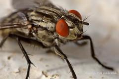 Fly  Vlieg (DirkVandeVelde Back) Tags: europa europ europe griekenland greece rodos rhodos insekt insects insect insekten outdoor buiten vlieg fly fauna animalia animal dieren brachycera arthropoda diptera tweevleugeligen geleedpotigen biologie