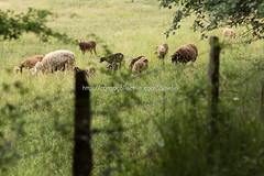 Valle de Mena (9) (cynefin_) Tags: httpcargocollectivecomcynefin valle de mena merindades burgos castilla y len villasana cynefin vaca vacas animales paisaje naturaleza