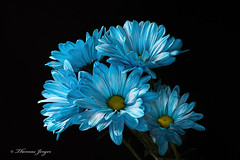 Blue Daisy Group 0627 Copyrighted (Tjerger) Tags: blue summer portrait plant black flower green nature floral beautiful beauty yellow blackbackground wisconsin petals flora natural group stems bunch daisy bloom