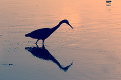 Softly I walk (ImagesByLin) Tags: canon egret lakemacquarie backlight backlit bird lake minimalism peaceful reflection silhouette wading water
