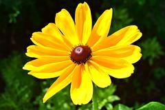 Rudbeckia 'Indian Summer' (chemodan) Tags: yellow rudbeckia