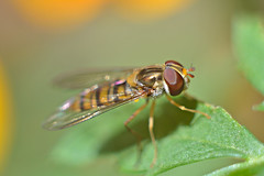 (DianePL) Tags: fly insect outdoor nature nikon natura green helios helios44m d5100 depthoffield dof manual m42 macro