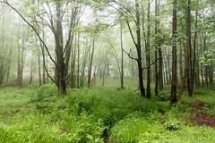 green (Homemade) Tags: green grass garden yard trees fog southsalem lewisboro ny newyork sonydscrx100
