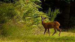 deer (grahamrobb888) Tags: nikond800 nikkor85mmf18 deer animal wild woods forest perthshire scotland