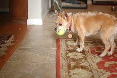 DSC_0033 (ghoulia) Tags: dogs dogvacay rovercom mutts chihuahua yorkie pomeranian