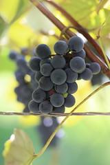 Backyard stories (dzepni_oktavo) Tags: red grapes backyard nature garden