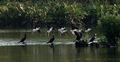 Dancing in air..... (sreejithkallethu) Tags: blackwingedstilt cormorants nature kollam birdsofkerala kandachira kerala