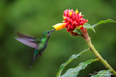 Green-crowned Brilliant, Costa Rica (www.juancarlosvindasphoto.com) Tags: costarica juancarlosvindas centralamerica nature wildlife landscape frog amphibian birds birdphotography photographer photos pictures stock fulllength nobody frontalview sideview outdoors mammals endemic reptiles portraitmode portrait large small aves colibries colibris hummingbird canon multiflash gear tropical rainforest cloudforest tropicaldryforest protected workshop tour expedition unique cute waterfall green forest poisonous rightsmanaged rm getty treefrog leaffrog landscapes ecuador distinctive endangered animalsinthewild birdwatching biology biodiversity multicolored animal toucan wildanimals tropicalbirds neotropicwildlife neotropicbirds