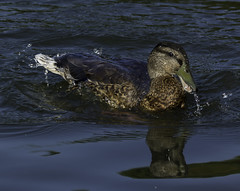 Duck_SAF3332 (sara97) Tags: copyright2016saraannefinke duck missouri nature outdoors photobysaraannefinke saintlouis towergrovepark urbanpark waterfowl wildlife