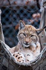 Lynx in a hammock (Cloudtail the Snow Leopard) Tags: luchs zoo karlsruhe tier animal mammal sugetier katze cat feline lynx hngematte hammock heidi