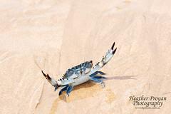 Blue swimmer crab (stormgirl1960) Tags: northernterritory nationalpark darwin topend australia dundeebeach blueswimmercrab crab crustacean beach sand animal wildlife