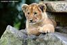 African lion cub - Olmense Zoo (Mandenno photography) Tags: ngc dierenpark dierentuin dieren animal animals belgie belgium bigcat big cat cub lioncub lion lions leeuw leeuwtje olmense olmensezoo olmen balen