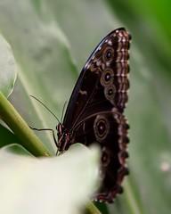 DSC_4930_2 (miwin) Tags: ecuador mindo butterfly colors fauna depthoffield bokeh botanicalgarden