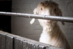 Feed Me! (h_cowell) Tags: goat animal portrait farm farmanimal tattoo tattoopark cheshire uk panasonic gx7