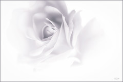 Delicate as a Rose (mad_ruth) Tags: roses delicate bloom blackwhite flowers artistic