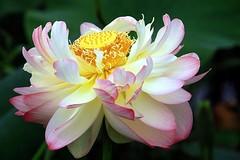 Lotus 04 (itsuo.t) Tags: lotusflower summerflower bloomsinpond ハスの花 蓮 flower