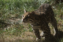 045_Great Cats Park_Ocelot (steveAK) Tags: greatcatsworldpark ocelot