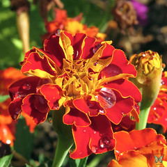 Bejeweled marigold (Swallowtail Garden Seeds) Tags: marigold annual annualflowers yellow orange red dew dewdrop dewdrops morningdew water macro flower macroflower flowermacro swallowtailgardenseeds