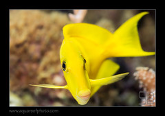 FRANolivaceus1050_160612 (kactusficus) Tags: marine reef aquarium francis surgeonfish acantturidae tang chirurgien acanthurus olivaceus pastis